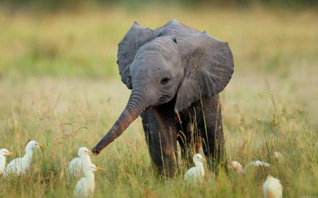 A baby elephant w baby cranes